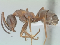 Formica rufibarbis, Arbeiterin, lateral