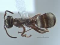 Formica fuscocinerea, Arbeiterin, dorsal.