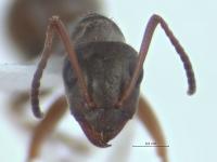 Formica fuscocinerea, Arbeiterin, frontal.