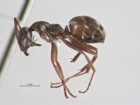 Formica fuscocinerea, Arbeiterin, lateral.