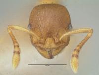Temnothorax parvulus, Arbeiterin, frontal