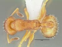 Temnothorax unifasciatus, Arbeiterin, dorsal