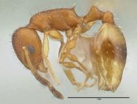 Temnothorax unifasciatus, Arbeiterin, lateral