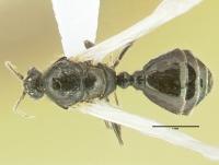 Diplorhoptrum fugax, Männchen, dorsal