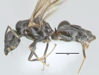 Lasius brunneus, Männchen, lateral