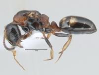 Dolichoderus quadripunctatus, Königin, lateral
