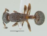 Leptothorax acervorum, Königin, dorsal