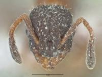 Leptothorax acervorum, Königin, frontal