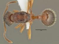 Myrmica schencki, Königin, dorsal