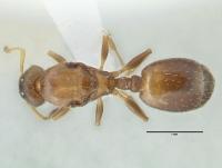 Temnothorax affinis, Königin, dorsal