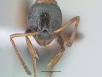 Dolichoderus quadripunctatus, Arbeiterin, frontal