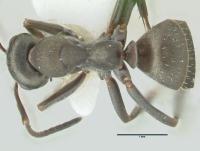 Formica lemani, Arbeiterin, dorsal