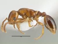 Formicoxenus nitidulus, Männchen, lateral