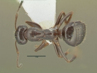 Formica transkaucasica, Arbeiterin, dorsal
