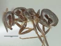 Formica transkaucasica, Arbeiterin, lateral