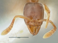 Hypoponera punctatissima, Arbeiterin, frontal