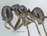 Lasius fuliginosus, Arbeiterin, lateral