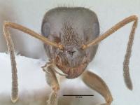Lasius platythorax, Arbeiterin, frontal