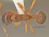 Myrmica rubra, Arbeiterin, dorsal