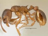 Myrmica rubra, Arbeiterin, lateral
