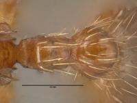 Myrmica rubra, Arbeiterin, Detail Petiolus und Postpetiolus dorsal