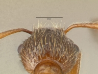 Myrmica rubra, Arbeiterin, Detail Scapus-Gelenke