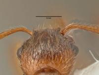 Myrmica ruginodis, Detail Scapus-Gelenke