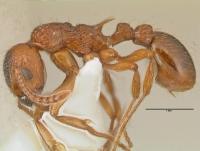 Myrmica ruginodis, Arbeiterin, lateral