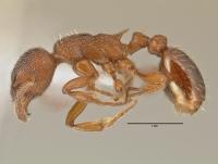 Myrmica rugulosa, Arbeiterin, lateral