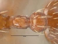 Myrmica rugulosa, Arbeiterin, Detail Petiolus und Postpetiolus dorsal