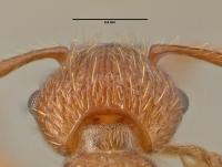 Myrmica scabrinodis, Arbeiterin, Detail Scapus-Gelenke