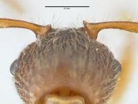 Myrmica schencki, Arbeiterin, Detail Scapus-Gelenke