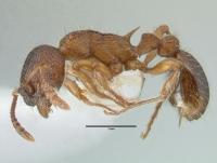 Myrmica schencki, Arbeiterin, lateral