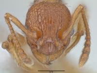 Myrmica sabuleti, Arbeiterin, frontal