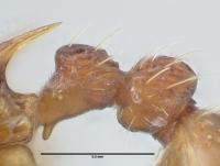 Myrmica sabuleti, Arbeiterin, Detail Petiolus und Postpetiolus lateral