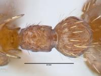 Myrmica specioides, Arbeiterin, Detail Petiolus und Postpetiolus dorsal