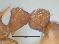 Myrmica specioides, Arbeiterin, Detail Petiolus und Postpetiolus lateral