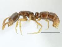 Ponera coarctata, Arbeiterin, lateral