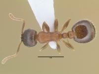 Temnothorax corticalis, Arbeiterin, dorsal