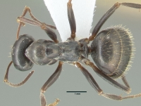 Formica gagates, große Arbeiterin, dorsal
