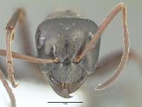 Formica gagates, große Arbeiterin, frontal