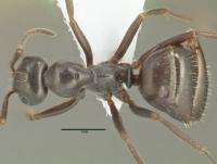 Formica gagates, kleine Arbeiterin, dorsal