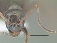 Formica gagates, kleine Arbeiterin, frontal