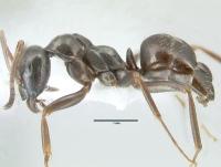 Formica gagates, kleine Arbeiterin, lateral